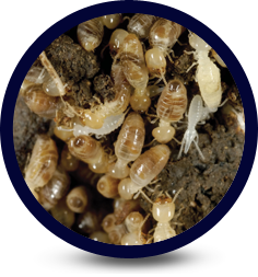 Termite Infestation