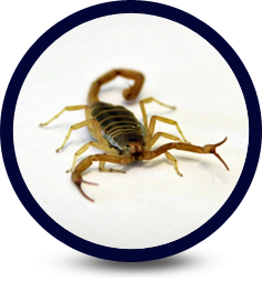 Scorpion Infestation